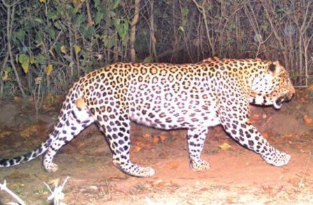 Man-eating leopard: आतंक का पर्याय बना आदमखोर गुलदार हुआ ढेर