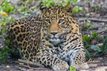 Uttarakhand: गुलदार ने युवक पर किया हमला, जंगल से मिला शव