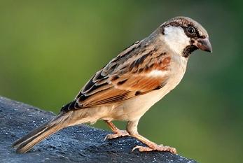 World Sparrow Day: अब कम ही दिखाई देती है घर-घर आंगन में चहकने वाली गौरैया
