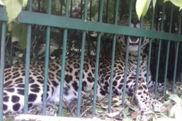 पौड़ीः आतंक का पर्याय गुलदार पिंजरे में हुआ कैद